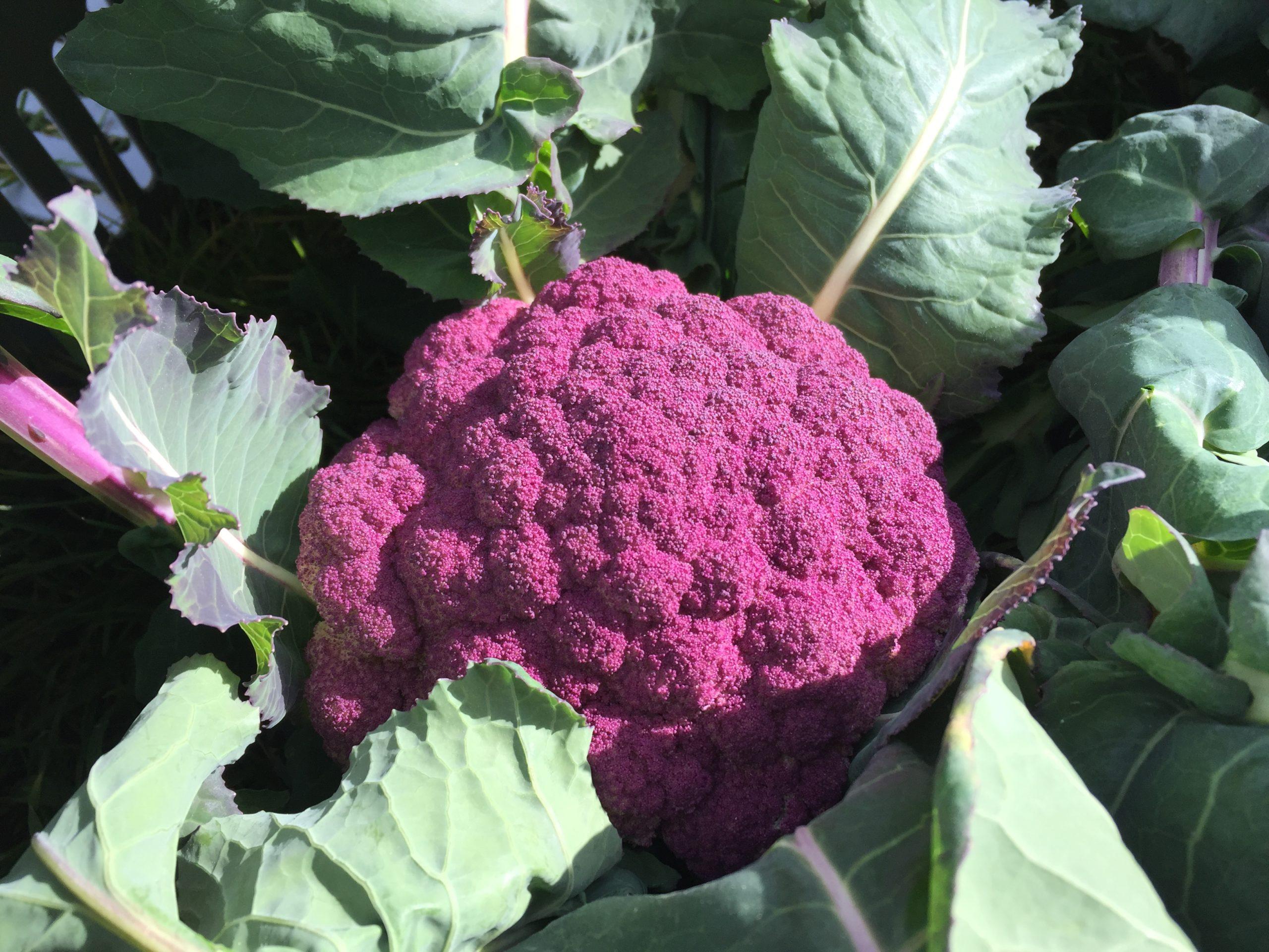 Violet Cauliflower
