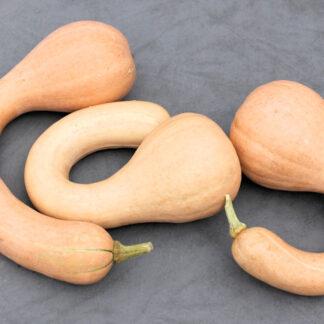 Cupola-crook neck pumpkins
